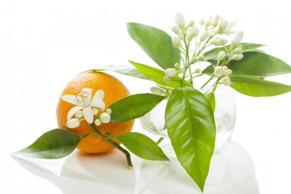 How to Make Orange Blossom Flower Water - Infusion Method