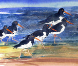 Marching oystercatchers