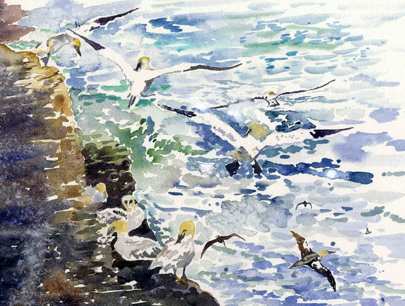 Gannets at Noup head, Westray