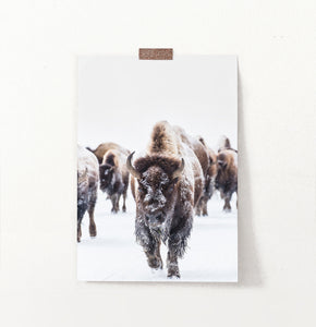 European Bison Herd Running In Snow Poster