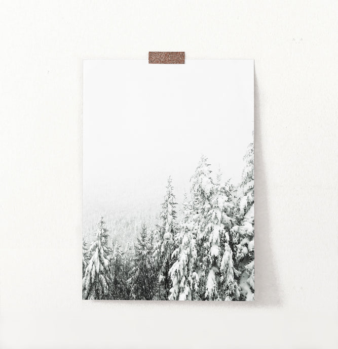 Charming Spruce Tops Covered in Snow Photo Art
