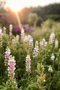 "Lupine ""Pink Fairy"""