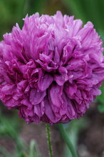 "Lade das Bild in den Galerie-Viewer, Mohn ""Paeony Purple Passion"""