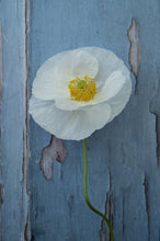 "Lade das Bild in den Galerie-Viewer, Mohn ""Bridal Silk"""