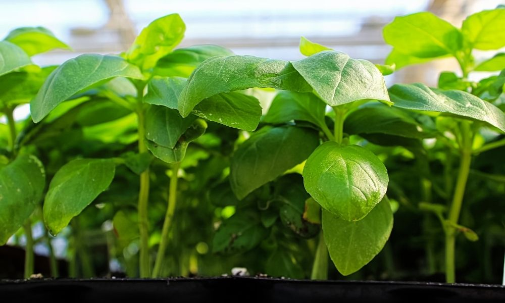 Tips for Using an AutoPot Watering System for Hydroponics