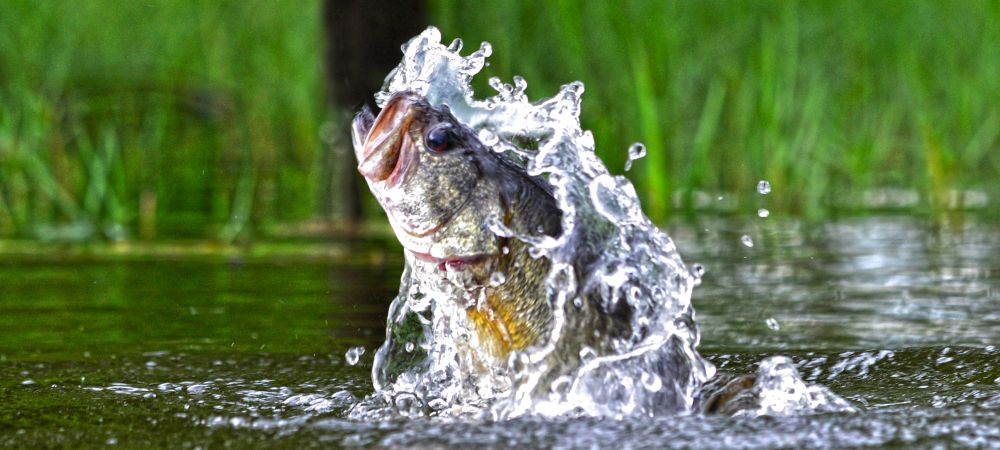 The Largemouth Bass: America's Game-Fish