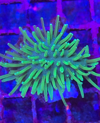 Ultra Rock Flower Anemone Pink Bullseye RFA - Day Dream Corals - Buy WYSIWYG Corals Online - Free Shipping Over $250 in FL