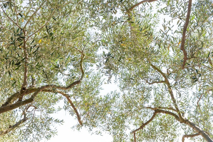 Under the Olive Trees