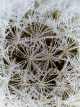 Load image into Gallery viewer, 'A Dandelion on a Foggy Morning' by Bob Davis
