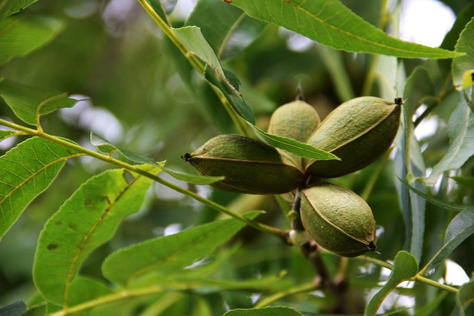 Pecans, America's Only Native Nut: A Brief History