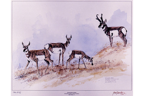"Wildlife: Drawing Print  ""Pronghorn Harem"" (Antelope)"