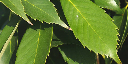 참 가시나무 잎 / Chinese Evergreen Oak Leaves