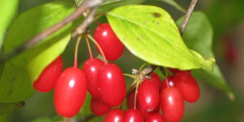 산수유 Asiatic Dogwood Fruit