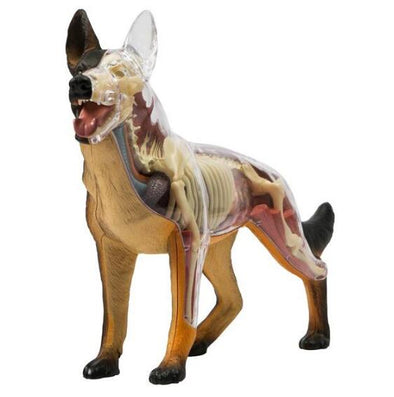 Veterinary 4D Dog Anatomical Model