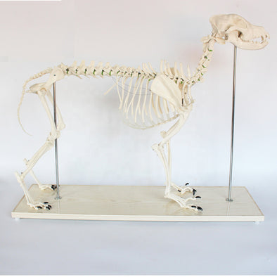 Big Dog Skeleton