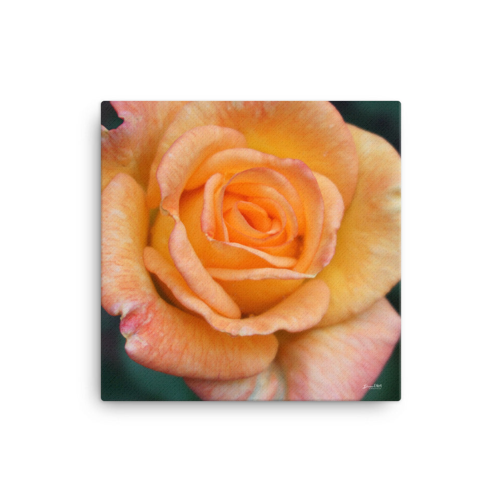 Rose 'Sunrose Orange Delight'