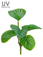 "7.5"" UV Protected Calathea Ornata Bush Green (pack of 12)"