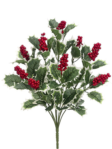 "18"" Holly Bush x9  Green Variegated (pack of 4)"