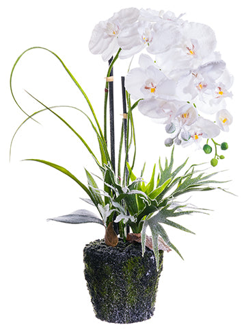 "26.5"" Snow Phalaenopsis Orchid Plant w/Moss White (pack of 2)"