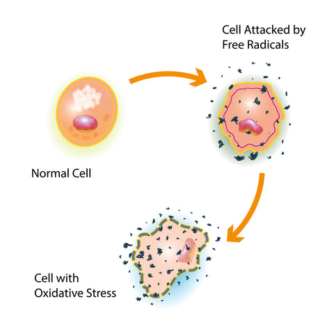 Diagram showing how free radicals damage cells