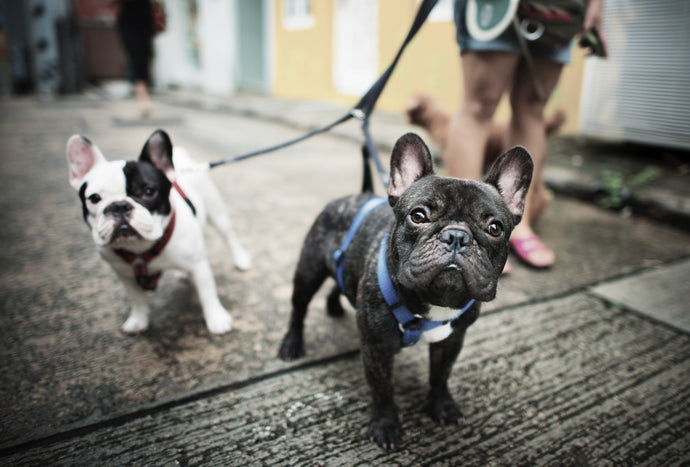The History of The French Bulldog – An International Sensation