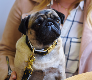 Pug Wearing Metallic Luxury Dog Lead