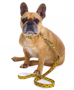 French Bulldog wearing Metallic Gold Quick Release Dog Collar