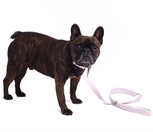 French Bulldog Wearing Metallic Pink Dog Lead