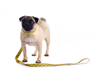 Pug Wearing Metallic Gold Quick Release Dog Collar