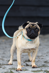 Pug Wearing Luxury Blue Dog Collar