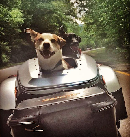 dog riding in bushtec pet lid trailer