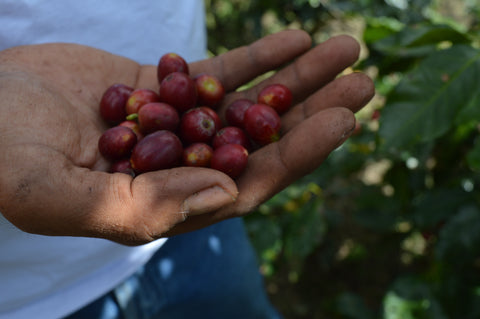 coffee berries in palm of hand