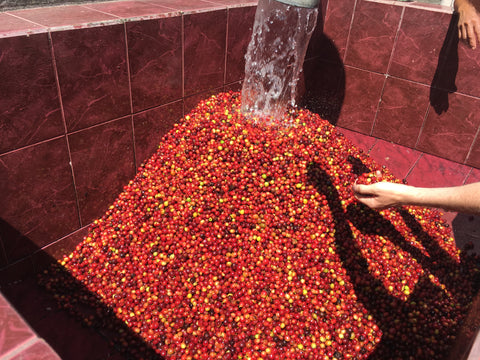 pile of red coffee berries