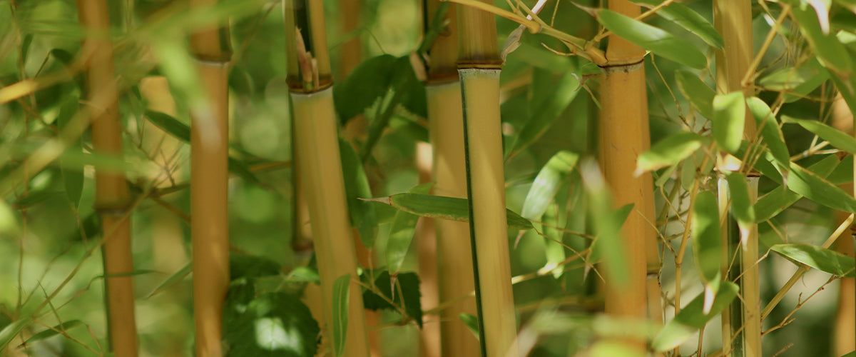 Forever Green - Bamboo: The Wonder Plant