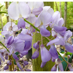 Wisteria sinensis 'Blue Sapphire' / Chinese Wisteria