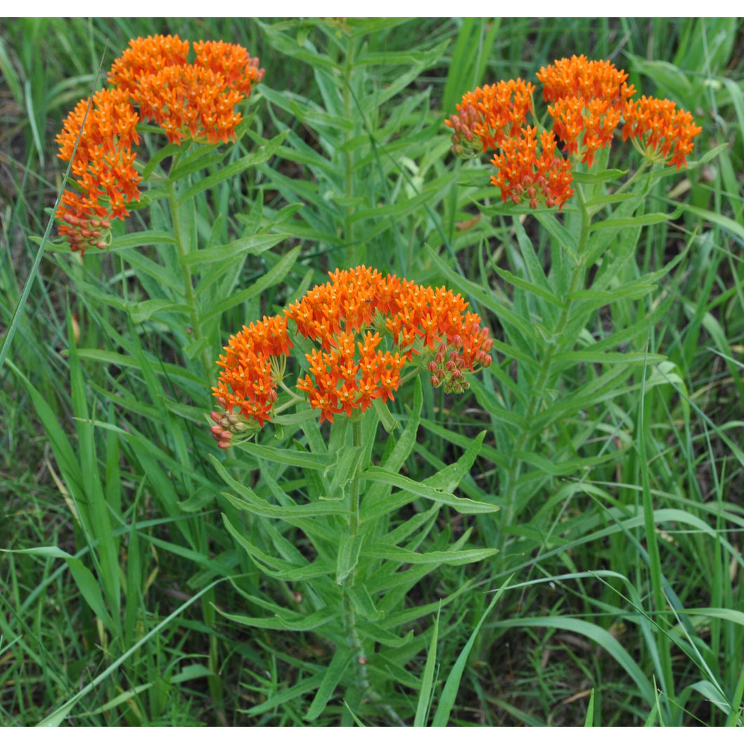 ASCLEPIAS - tuberosa / Milk Weed / Butterfly Weed