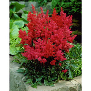 ASTILBE - japonica 'Montgomery' / Montgomery Japanese Astilbe