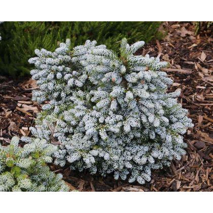Abies koreana 'Ice Breaker' / Miniature Korean Fir