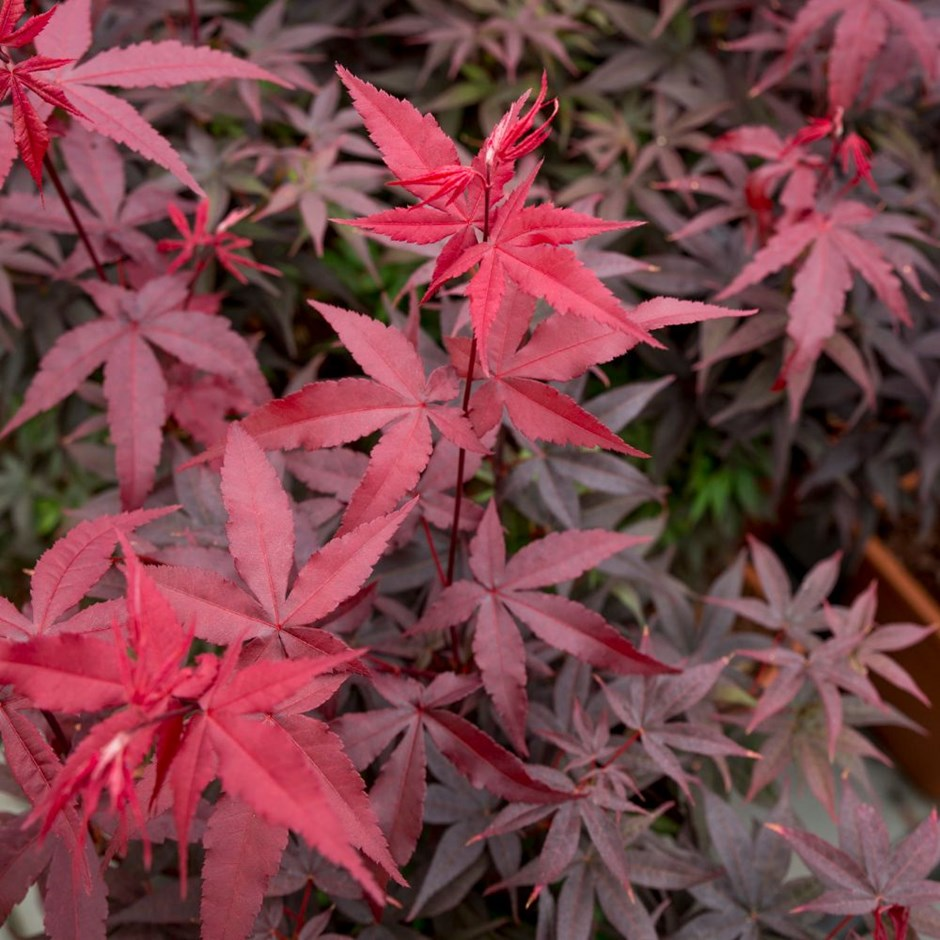 Acer palmatum 'Twombly's Red Sentinel' / Twombly's Red Sentinel Japanese Maple
