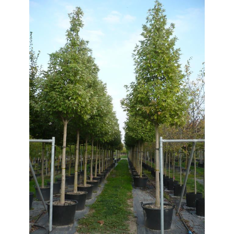 Acer - saccharinum / Silver Maple