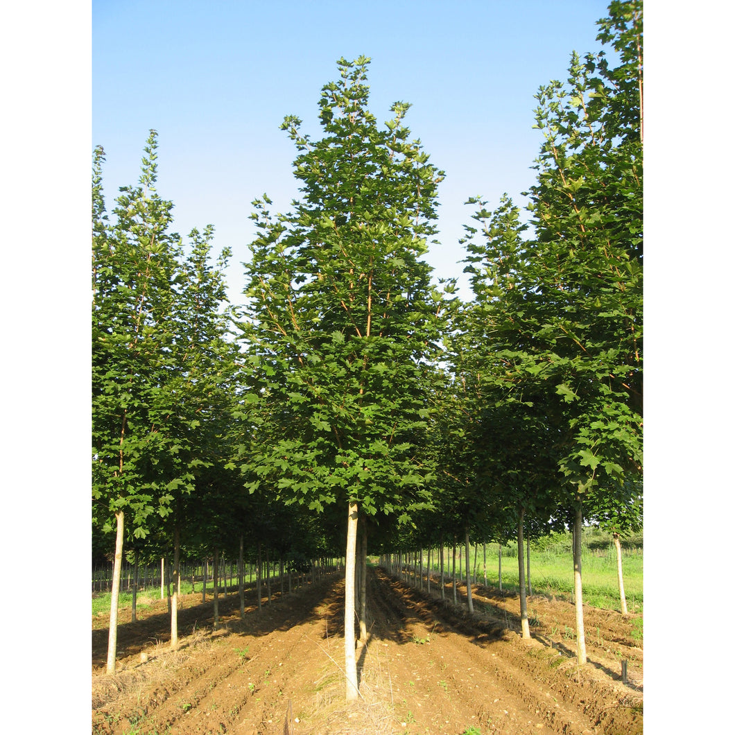 Acer - saccharum 'Green Mountain' / Green Mountain Sugar Maple