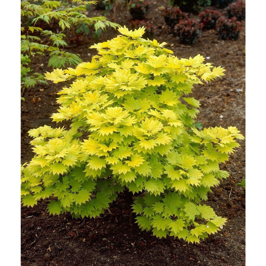 Acer shirasawanum 'Aureum' / Golden Full Moon Maple