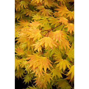 Acer shirasawanum 'Autumn Moon' / Autumn Moon Full Moon Maple