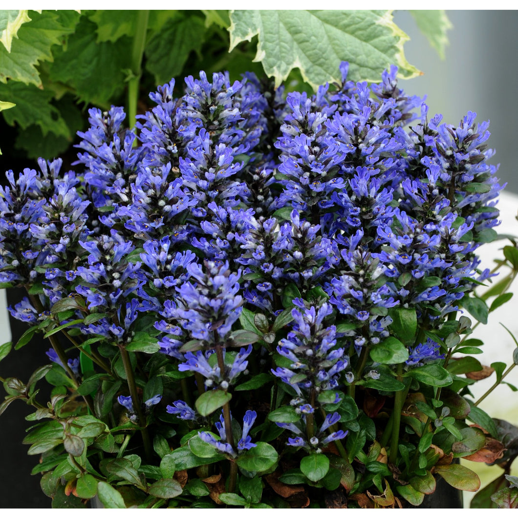 Ajuga reptans Blueberry Muffin / bugleweed