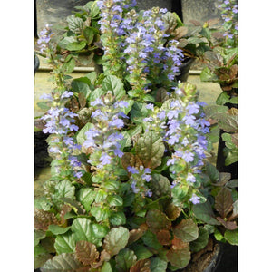 Ajuga reptans Bronze Beauty / bugleweed