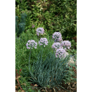 ALLIUM - senescens / Chives
