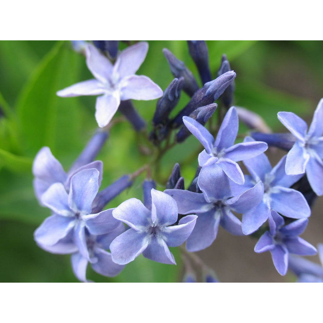 Amsonia - 'BLUE ICE' / Arkansas Blue star