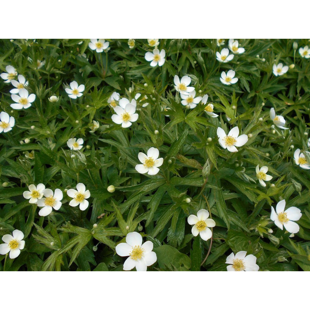 ANEMONE - canadensis / Windflower