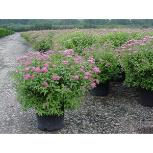 SPIRAEA - japonica 'Anthony Waterer' / Anthony Waterer Spirea