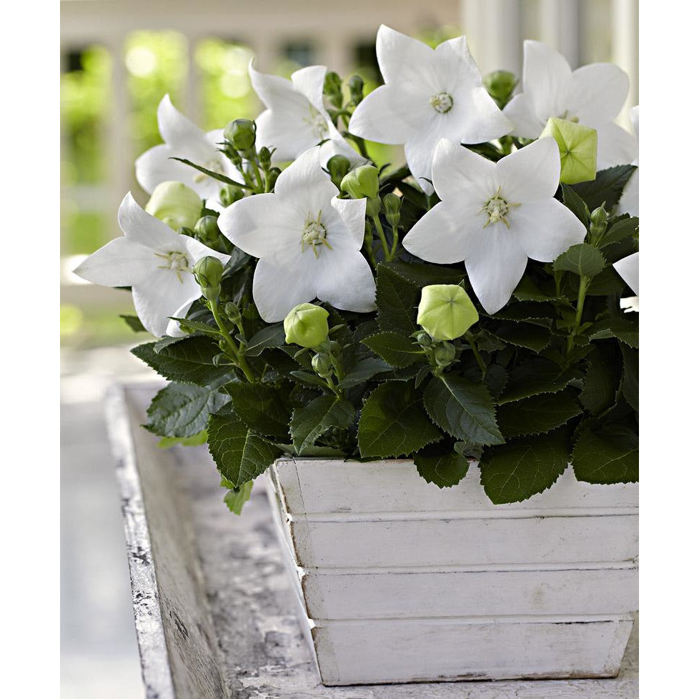 Platycodon - grandiflorus 'Astra Semi-Double White' / balloon flower